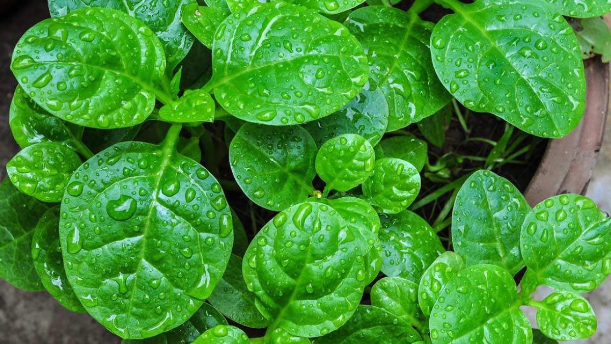 2 cách trồng rau mồng tơi không cần chăm bón nhiều mà vẫn lên vùn vụt
