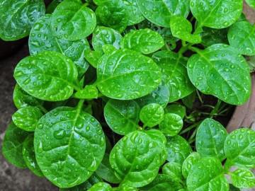 """2 cách trồng rau mồng tơi không cần chăm bón nhiều mà vẫn lên """"vùn vụt"""""""