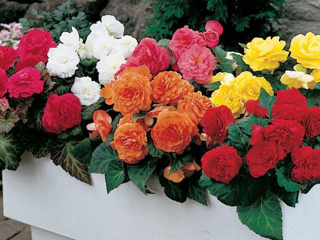 Kết quả hình ảnh cho hoa thu hải đường