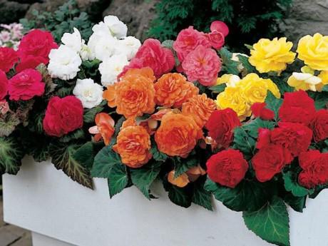 Mẹo trồng hoa thu hải đường nở rộ quanh năm, đẹp như tranh vẽ trên bậu cửa sổ