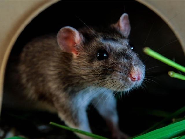 Mách 6 cách đuổi chuột trên trần nhà nhanh - gọn - nhẹ chẳng tốn 1 xu