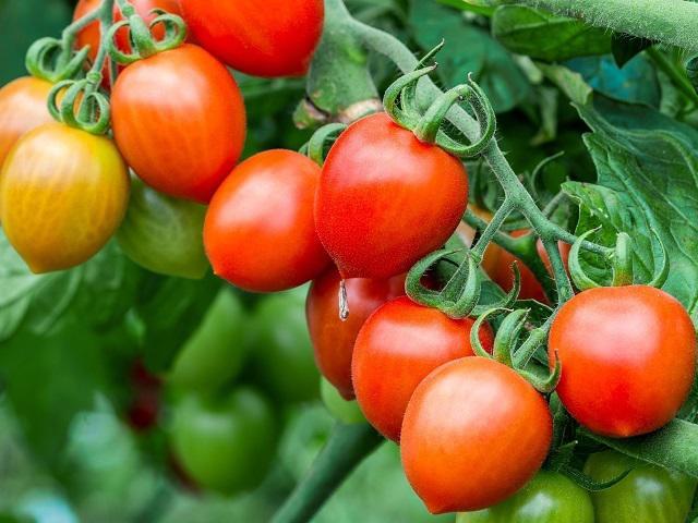 Cà chua chín nẫu chớ dại vứt, làm theo cách này bạn sẽ có cả vườn quả sai lúc lỉu