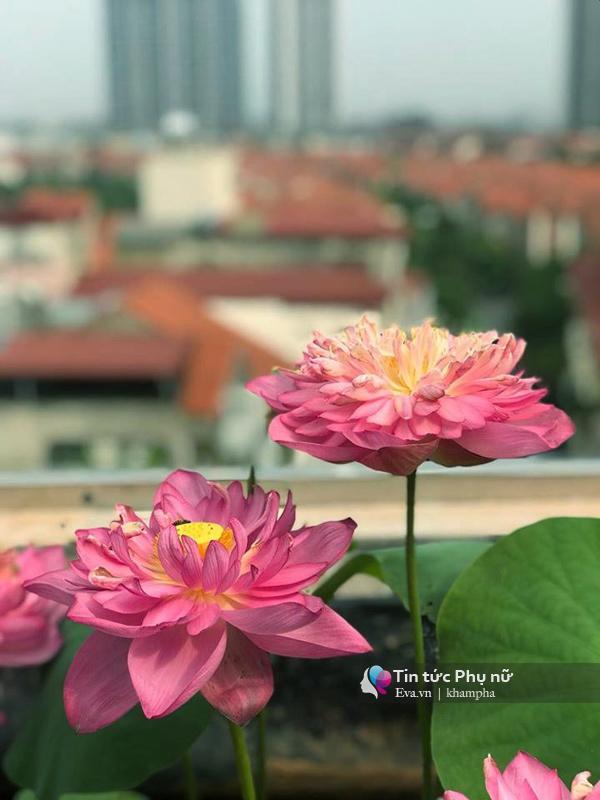 Chuyển hàng tấn đất làm ao sen, trồng hồng trên sân thượng, mẹ HN xây amp;#34;thiên đườngamp;#34; phủ kín hoa - 11