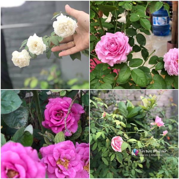Chuyển hàng tấn đất làm ao sen, trồng hồng trên sân thượng, mẹ HN xây amp;#34;thiên đườngamp;#34; phủ kín hoa - 16