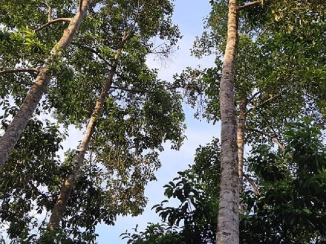 Độc đáo: Loài cây thẳng tắp, cao vút, ra quả thơm,... bán đắt như vàng