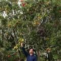 Tin tức - Kỳ lạ cây được ghép từ 250 giống táo khác nhau