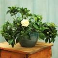 Mẹo vặt gia đình - Xịt nước hoa cho nhà bằng... cây cảnh