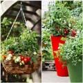 Nhà đẹp - Muôn kiểu trồng cà chua cho hàng xóm 'sốc'