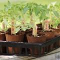 Nhà đẹp - 10 bí quyết trồng cà chua tại nhà mau lớn