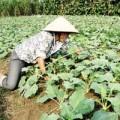 Mua sắm - Giá cả - Rau trái vụ lao đao vì nghi hàng Trung Quốc