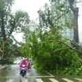 Tin tức - Đà Nẵng: Cây đổ vì bão, lộ rõ làm ăn gian dối