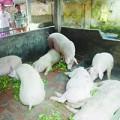 Tin tức - Bùng phát dịch bệnh trên lợn, trâu, bò
