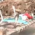Tin tức - Clip: Em bé ngủ cùng 4 con rắn hổ mang
