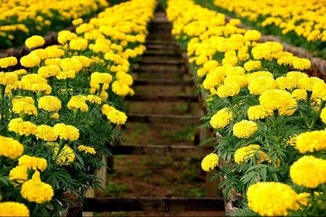1. Hoa cúc  Hoa cúc có tác dụng ổn định phúc khí trong nhà. Trồng những chậu hoa cúc nhỏ hoặc đơn giản là cắm một bình hoa cúc trong nhà, đặt chúng ở nơi có nhiều ánh sáng để tăng thêm sự may mắn, rực rỡ.