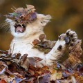 Tin tức - Ảnh đẹp: Sư tử con ngộ nghĩnh bên đống lá thu vàng
