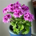Nhà đẹp - Gợi ý 14 hoa cảnh đẹp, thơm chơi Tết