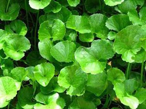 5 cây thuốc quý dễ trồng trong vườn nhà-4