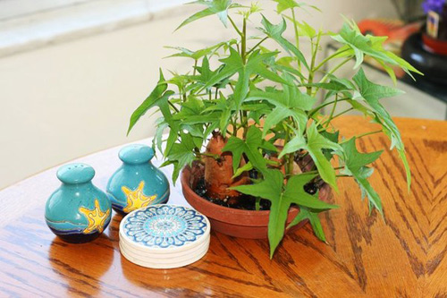 5 cây thuốc quý dễ trồng trong vườn nhà-5