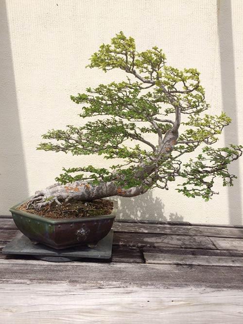 vuon bonsai tien ty o my cua bang kieu - 9