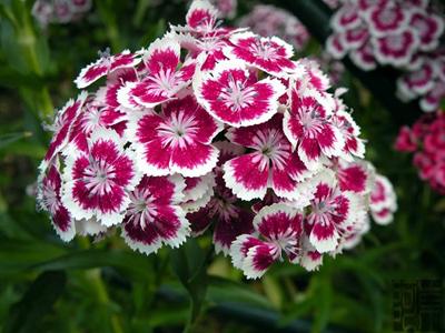 nhung loai hoa de trong, de song khi dong den - 9