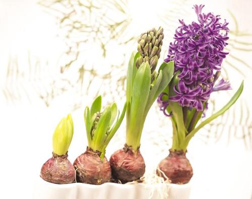 trong hoa tien ong khong kho, mang an khang den nha - 7