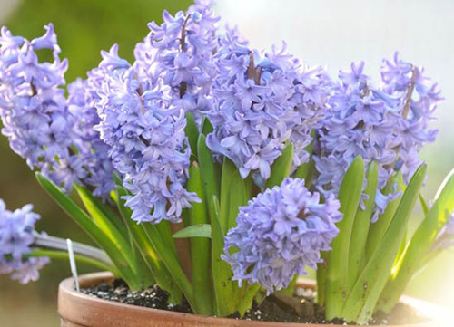 trong hoa tien ong khong kho, mang an khang den nha - 1