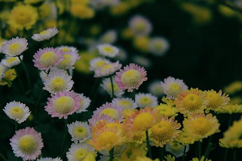 ha noi dep ngo ngang mua hoa cuc chi - 2
