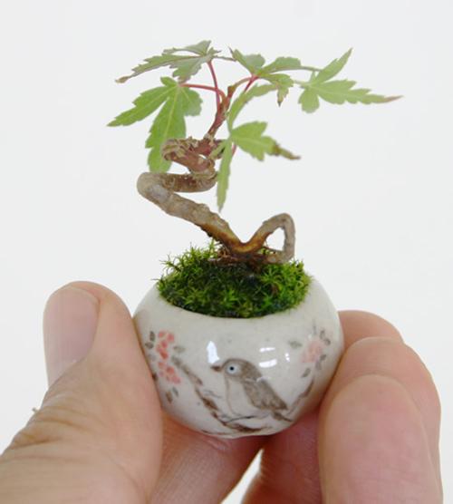 bonsai sieu nho 3cm de thuong cho ban tra - 9