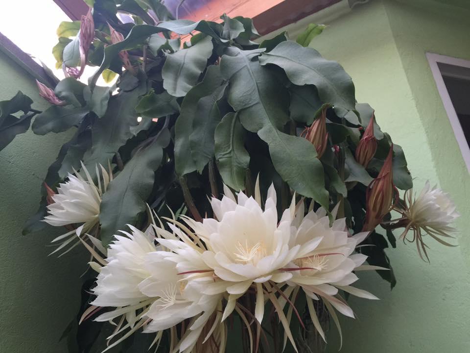 Mẹ Việt ở Đức tiết lộ bí quyết trồng quỳnh trăm hoa-3