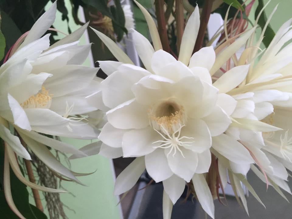 Mẹ Việt ở Đức tiết lộ bí quyết trồng quỳnh trăm hoa-6