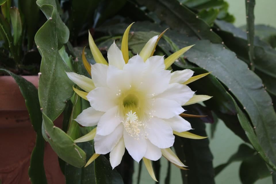 Mẹ Việt ở Đức tiết lộ bí quyết trồng quỳnh trăm hoa-9