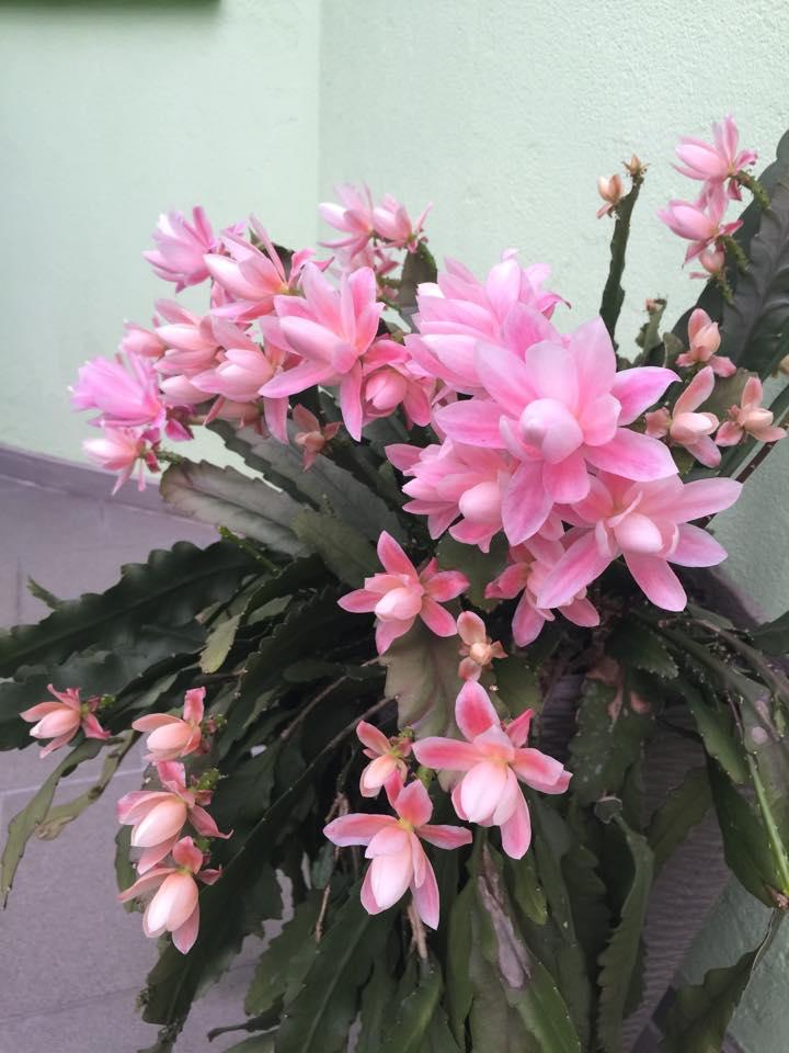 Mẹ Việt ở Đức tiết lộ bí quyết trồng quỳnh trăm hoa-13
