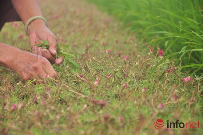 me man con duong hoa muoi gio tho mong cua hai vo chong lao nong - 12