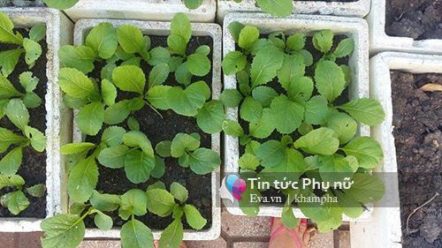 Vườn rau sạch hoa trái lúc lỉu từ xơ dừa của 8x Sài thành-6