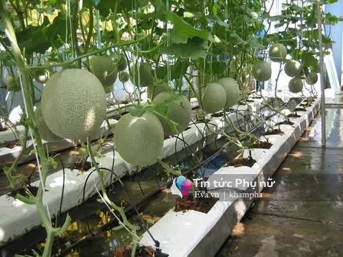 Vườn rau sạch hoa trái lúc lỉu từ xơ dừa của 8x Sài thành-2
