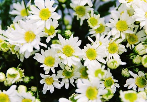 Cúc họa mi xao xuyến gọi gió đông về | Hoa đẹp
