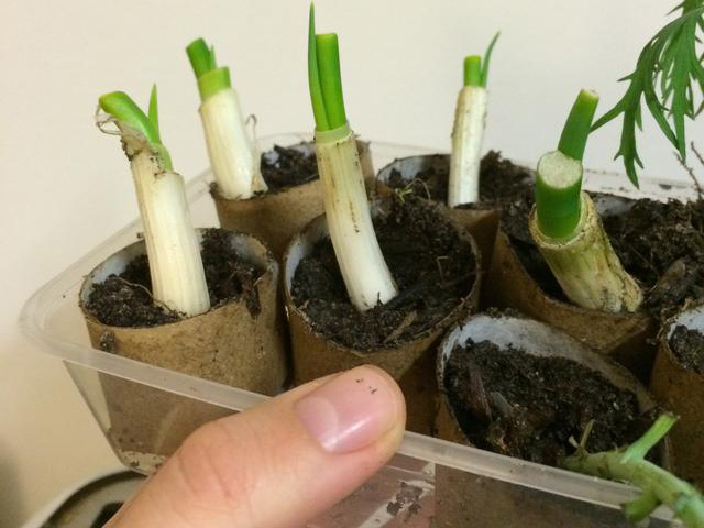 Mách chị em 4 cách trồng hành lá tại nhà, ăn tẹt ga không hết