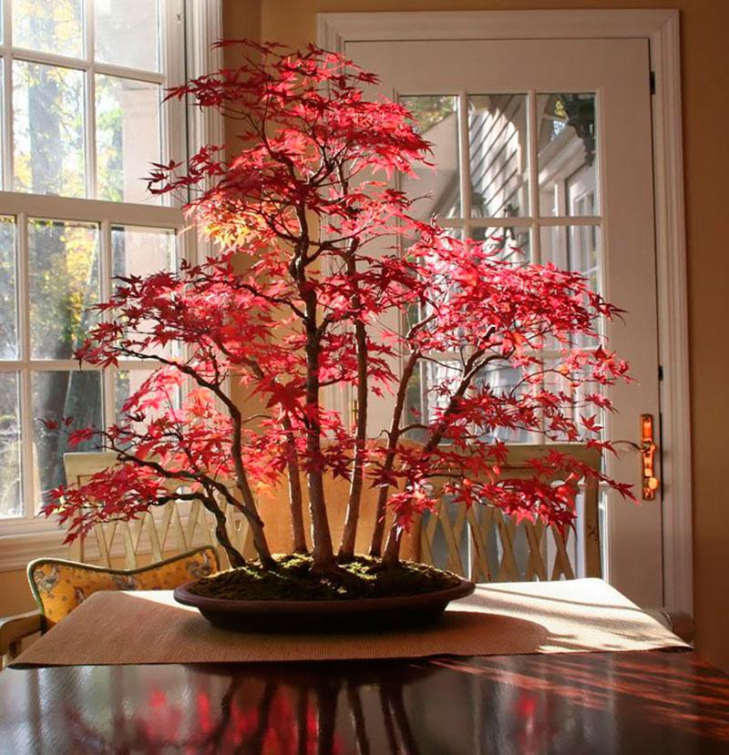 Cây phong bonsai mùa thu với những chiếc lá đỏ đẹp mê mẩn.