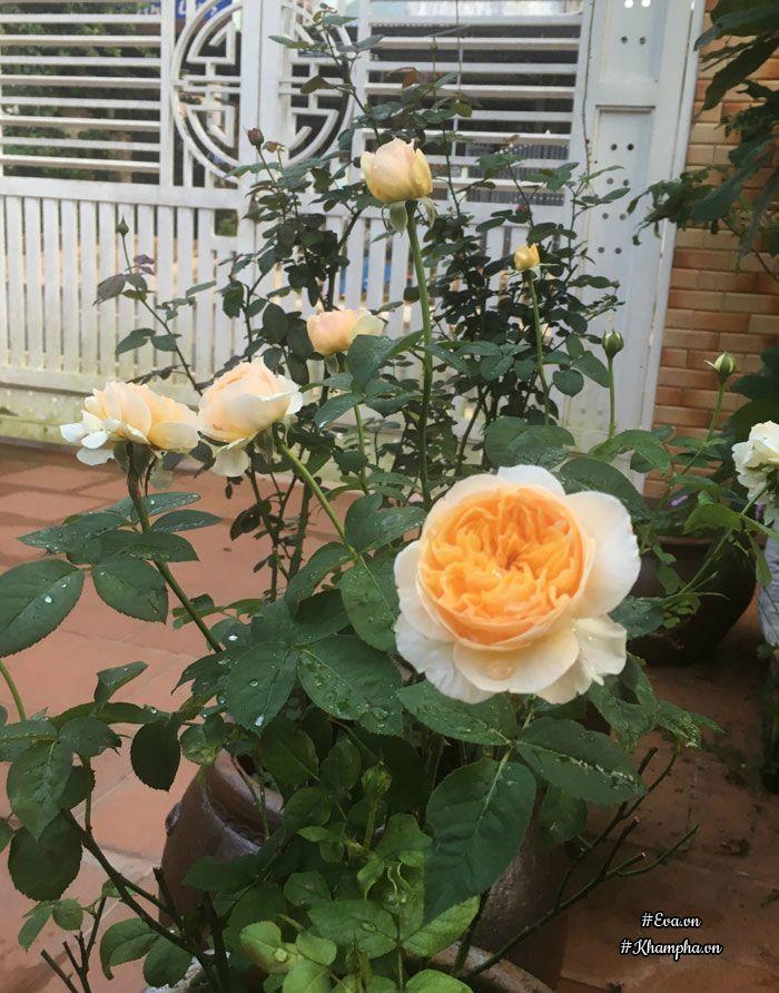Mê mẩn vườn hoa hồng tuyệt đẹp trồng toàn trong chum của ...