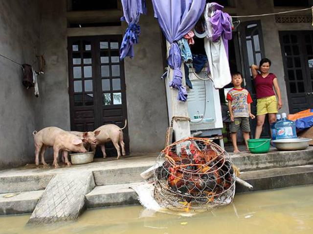 Vỡ đê bao ở Chương Mỹ: Người, lợn phải chung nhà, gà vịt bị cuốn trôi