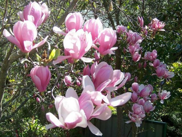 Trồng hoa mộc lan trước nhà, vừa đẹp vừa thơm lâu cả tháng