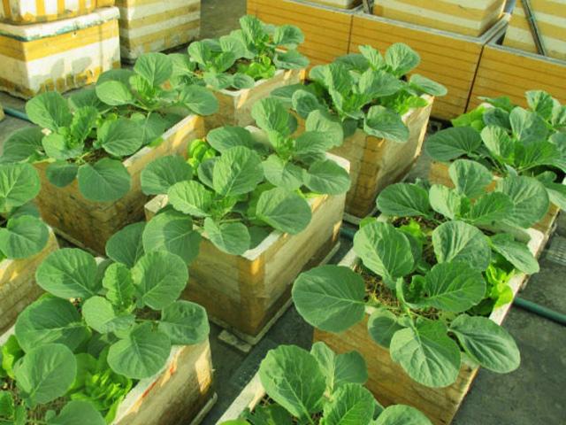 Không cần vườn rộng, vẫn có cách trồng bắp cải trong thùng xốp vô cùng đơn giản