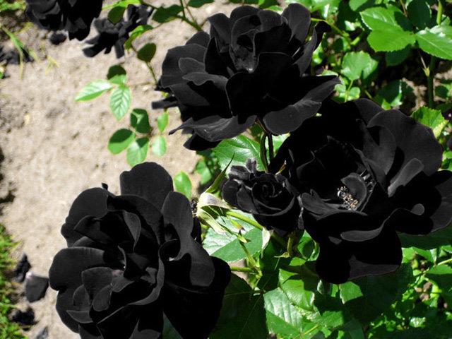 Tiết lộ không ngờ về loài hoa hồng đen cực quý hiếm chỉ trồng duy nhất ở Thổ Nhĩ Kỳ
