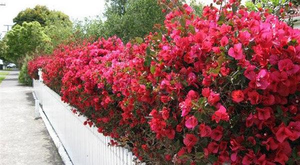 hàng rào hoa