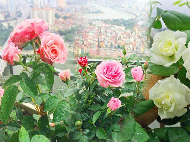 Ban công vỏn vẹn 3m² có trăm gốc hồng đua nở sáng rực chung cư của mẹ Hà Thành