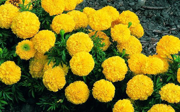 Kết quả hình ảnh cho hoa cúc vạn thọ