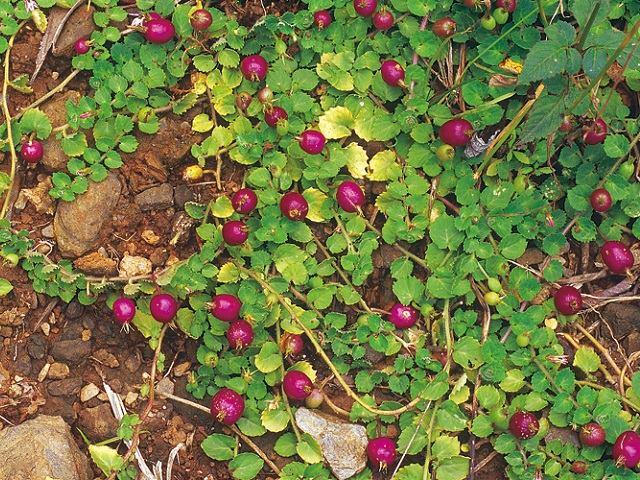 Lạ đời: 5 loại rau dại độc lạ, là đặc sản Việt Nam được săn lùng