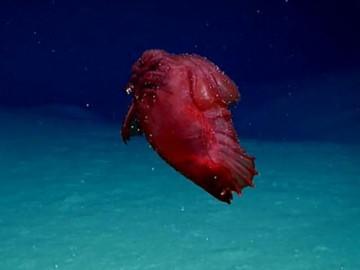"""Sốc độc lạ: Phát hiện quái vật """"gà không đầu"""" đang bơi dưới đáy biển"""