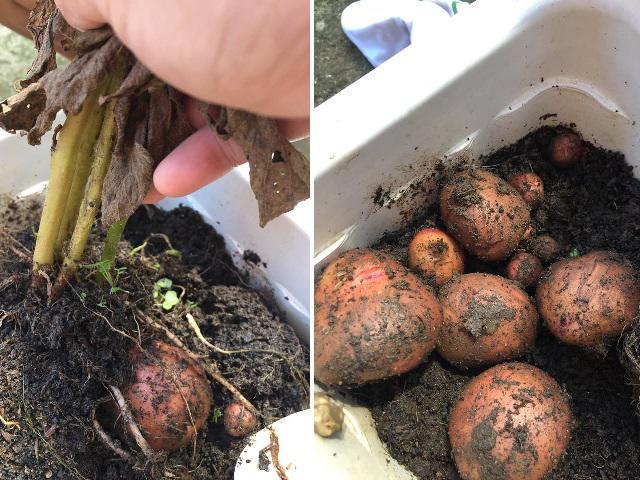 Trồng hoa hồng theo clip trên mạng, mẹ trẻ ngã ngửa khi thu về hẳn 1 vựa… khoai tây