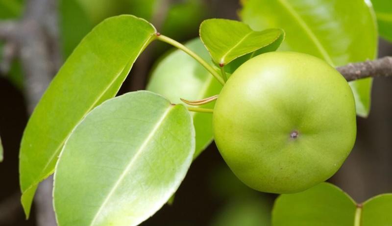Machioneel là loài cây rất độc, đến mức bạn không cần động vào nó cũng khiến bạn trúng độc của nó.Nếu hít phải bột gỗ hoặc khói của một cây Machioneel cao 9,1m có thể gây ra các phản ứng như ho, viêm thanh quản và viêm phế quản.